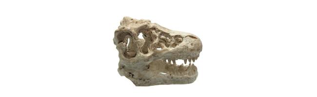 Aquarium dinosaurus T-rex schedel.
